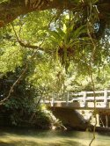 Bridge In The Daintree