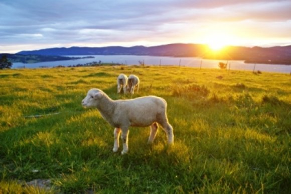 Spring Lambs In The Sunset
