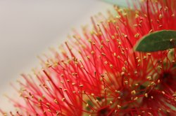 Eucalyptus Summer Beauty
