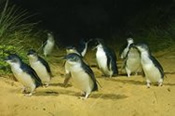 1 Day Penguin Parade And Koala Highlights Tour -