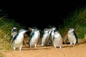 Phillip Island and Penguin Parade Day Tour - Melbourne CBD