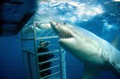 4 Day Shark Expedition -