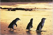 Penguin Parade Moonlight Twilight Tour -