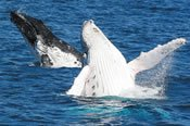 Morning Gold Coast Whale Watching Adventure -