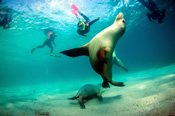 Swim with Sealions -