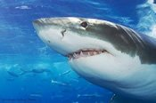 Cage Diving with Great White Sharks -