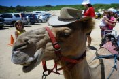 Port Stephens Camel Ride Adventure -