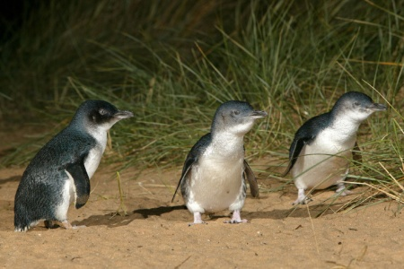 Phillip Island Penguin Parade Day Tour