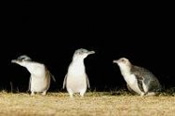 Phillip Island Penguin Parade with Penguins Plus -