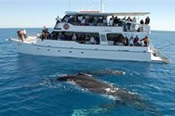 Whale Watching Cruise in Hervey Bay -