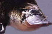 Exclusive Platypus and Penguins Package - Gold Class -
