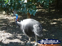 Johnston River Crocodile Farm Cassowary . . . CLICK TO ENLARGE