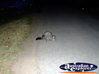 Echuca Possum Looking For Food . . . CLICK TO ENLARGE