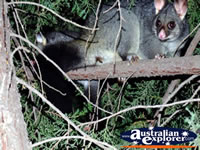 Wide Eyed Possum . . . CLICK TO ENLARGE