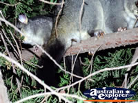 Close Up of Possums in Tree . . . CLICK TO ENLARGE