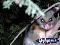 Close up of Possum in Echuca . . . CLICK TO ENLARGE