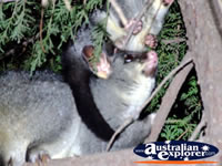 Two Possums Playing in Echuca . . . CLICK TO ENLARGE