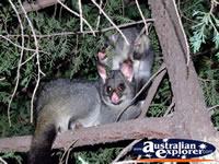 Two Possums in Trees . . . CLICK TO ENLARGE