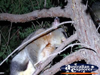 Echuca Possum in Trees . . . CLICK TO ENLARGE