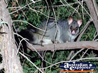 Possum in Trees in Echuca . . . CLICK TO ENLARGE