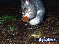 Hungry Kyneton Possum . . . CLICK TO ENLARGE