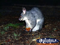 Possum in Kyneton  . . . CLICK TO ENLARGE