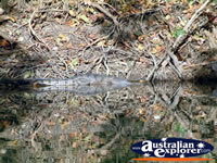 Fitzroy Crossing Geike Gorge Croc Relaxing . . . CLICK TO ENLARGE
