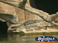 Sunbaking Crocodile at Fitzroy Crossing Geikie Gorge . . . CLICK TO ENLARGE