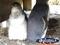 Phillip Island Penguins . . . CLICK TO ENLARGE