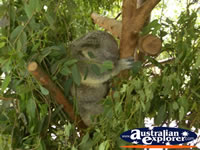 Australia Zoo Koala Sleeping . . . CLICK TO ENLARGE