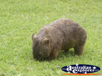 Australia Zoo Wombat Eating . . . CLICK TO ENLARGE