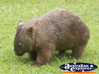 Australia Zoo Wombat . . . CLICK TO ENLARGE