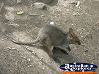 Baby Wallaby in the dirt . . . CLICK TO ENLARGE