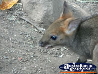 Baby Wallaby Closeup . . . CLICK TO ENLARGE