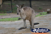 Wild Wallaby . . . CLICK TO ENLARGE
