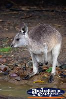 Baby Wallaby . . . CLICK TO ENLARGE