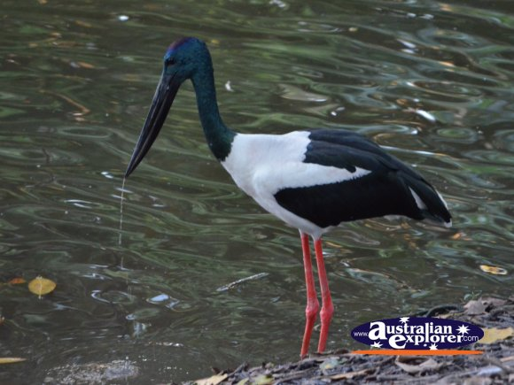 Black-neck Stork . . . CLICK TO VIEW ALL JABIRUS POSTCARDS