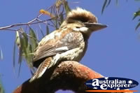 Blue Winged Kookaburra . . . CLICK TO ENLARGE
