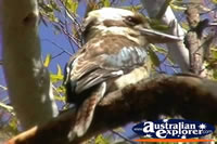 Closeup of Blue Winged Kookaburra . . . CLICK TO ENLARGE