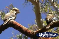 Pair of Blue Winged Kookaburras in a Tree . . . CLICK TO ENLARGE
