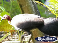 Bush Turkey in the Garden . . . CLICK TO ENLARGE