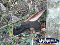 Bush Turkey Eating . . . CLICK TO ENLARGE