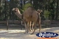 Pair of Camels . . . CLICK TO ENLARGE
