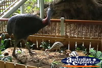 Cassowary And Friends . . . CLICK TO ENLARGE