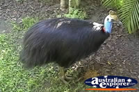 Cassowary . . . CLICK TO ENLARGE