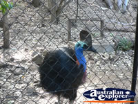 Cassowary behind Fencing . . . CLICK TO ENLARGE