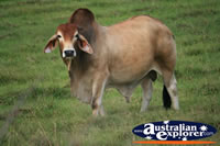Zebu Bull . . . CLICK TO ENLARGE