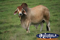 Australian Zebu Bull . . . CLICK TO ENLARGE