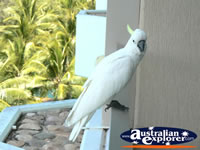 Cockatoo on Balcony in Hamilton Island . . . CLICK TO ENLARGE