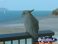 Cockatoo Perched on Rail in Hamilton Island . . . CLICK TO ENLARGE